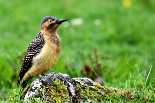 Andean Flicker, Peru, Northern Peru, Peru Birding Tour, Peru Nature Tour, Naturalist Journeys
