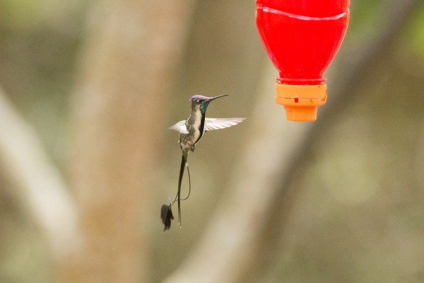 Marvelous Spatuletail, Peru, Northern Peru, Peru Birding Tour, Peru Nature Tour, Naturalist Journeys