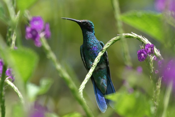 Sparkling Violetear, Peru, Northern Peru, Peru Birding Tour, Peru Nature Tour, Naturalist Journeys
