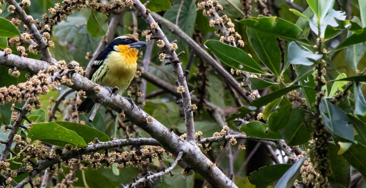 Gilded Barbet, Peru, Northern Peru, Peru Birding Tour, Peru Nature Tour, Naturalist Journeys