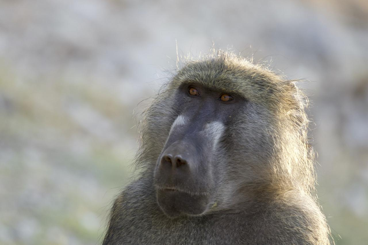 Baboon, Botswana, Africa Safari, Naturalist Journeys, Wildlife Tour, Africa Wildlife