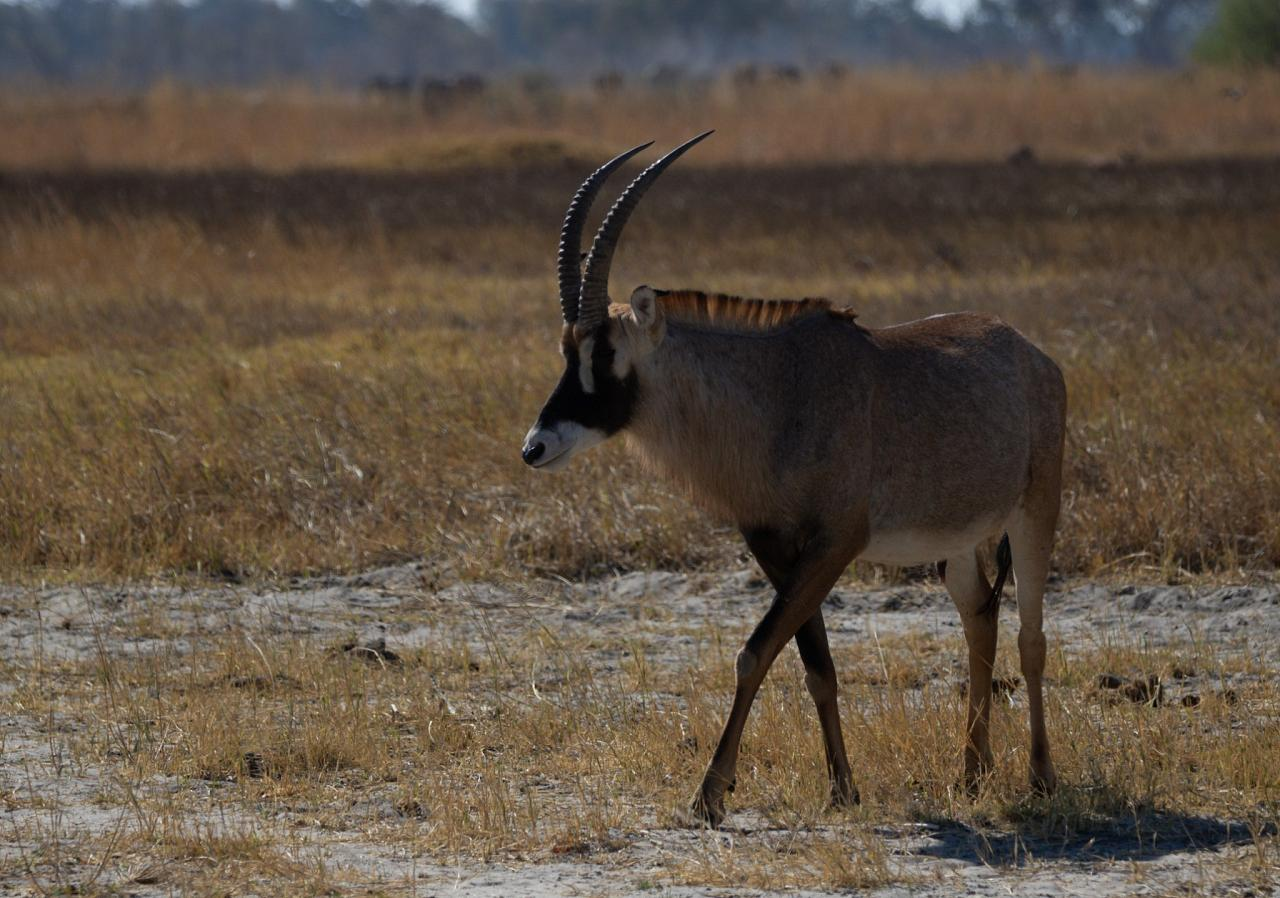 Roan Antelope, Botswana, Africa Safari, Naturalist Journeys, Wildlife Tour, Africa Wildlife