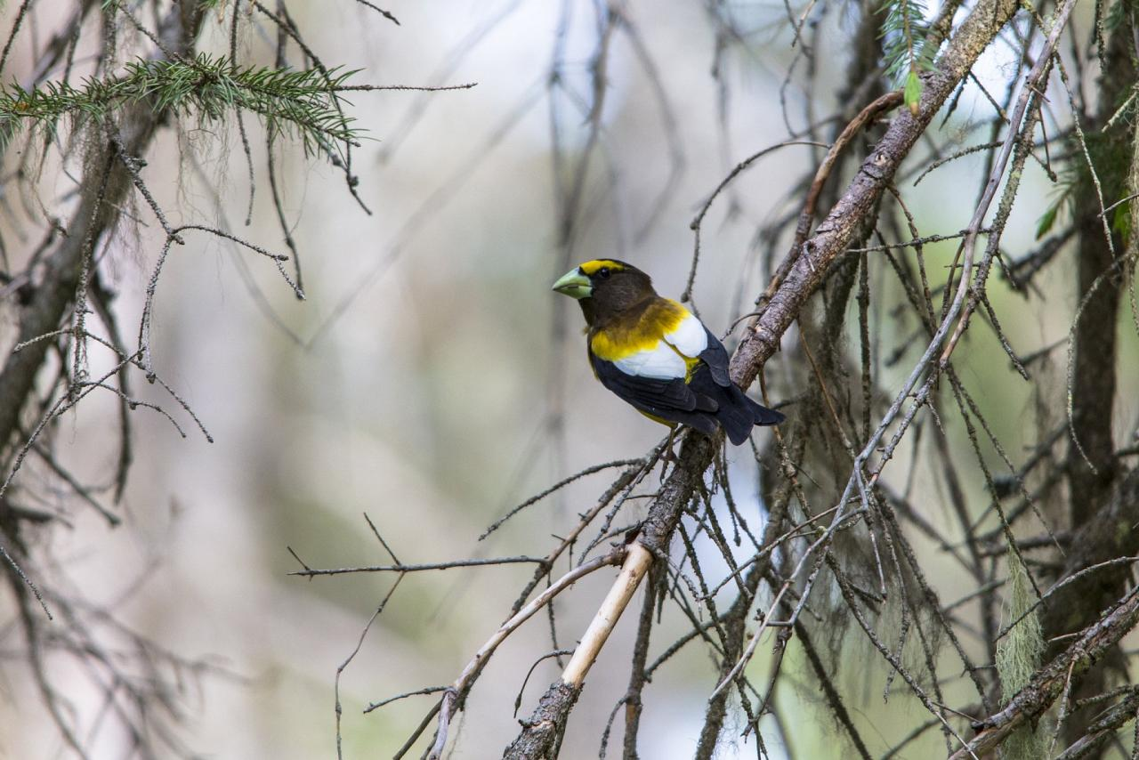 Evening Grosbeak, Oregon Birding Tour, Oregon Nature Tour, Cascade Mountains Birding Tour, Cascade Mountains Nature Tour, Naturalist Journeys