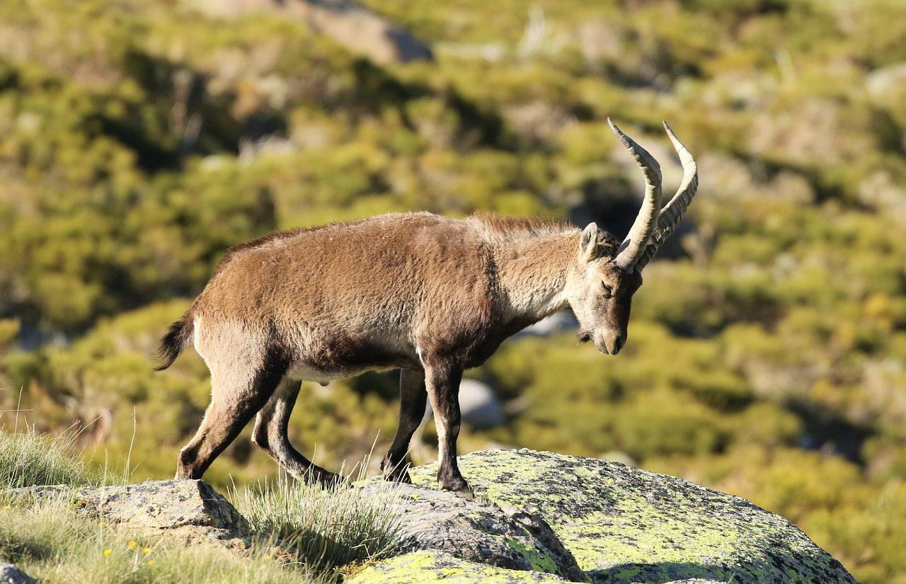 Iberian Ibex, Spain Birding Tour, Spain Nature Tour, Spain, Naturalist Journeys
