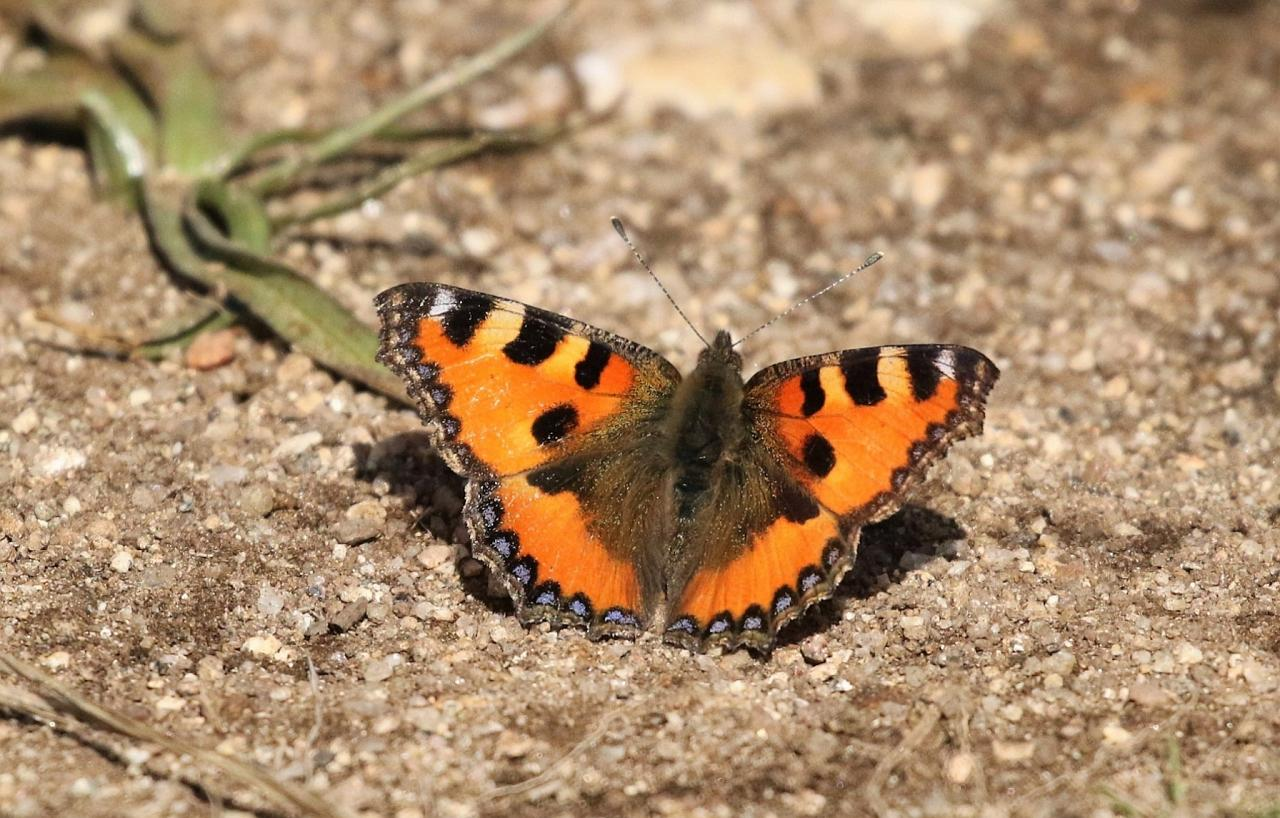Tortoiseshell Butterfly, Spain Birding Tour, Spain Nature Tour, Spain, Naturalist Journeys
