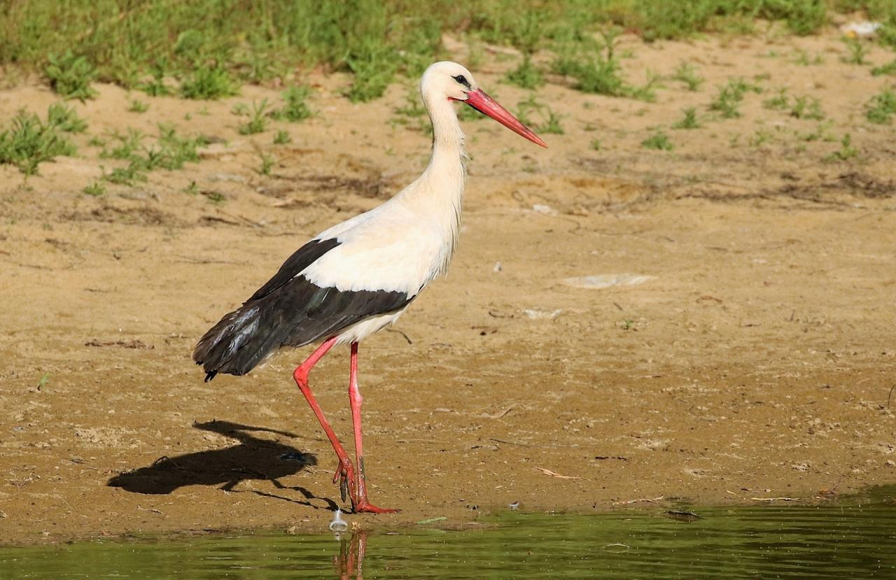 White Stork, Spain Birding Tour, Spain Nature Tour, Spain, Naturalist Journeys