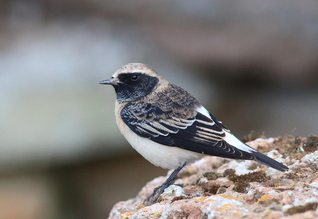 Pied Wheatear, Bulgaria Birding Tour, Bulgaria Nature Tour, Romania Birding Tour, Romania Nature Tour, Bulgaria and Romania Birding Tour, Naturalist Journeys