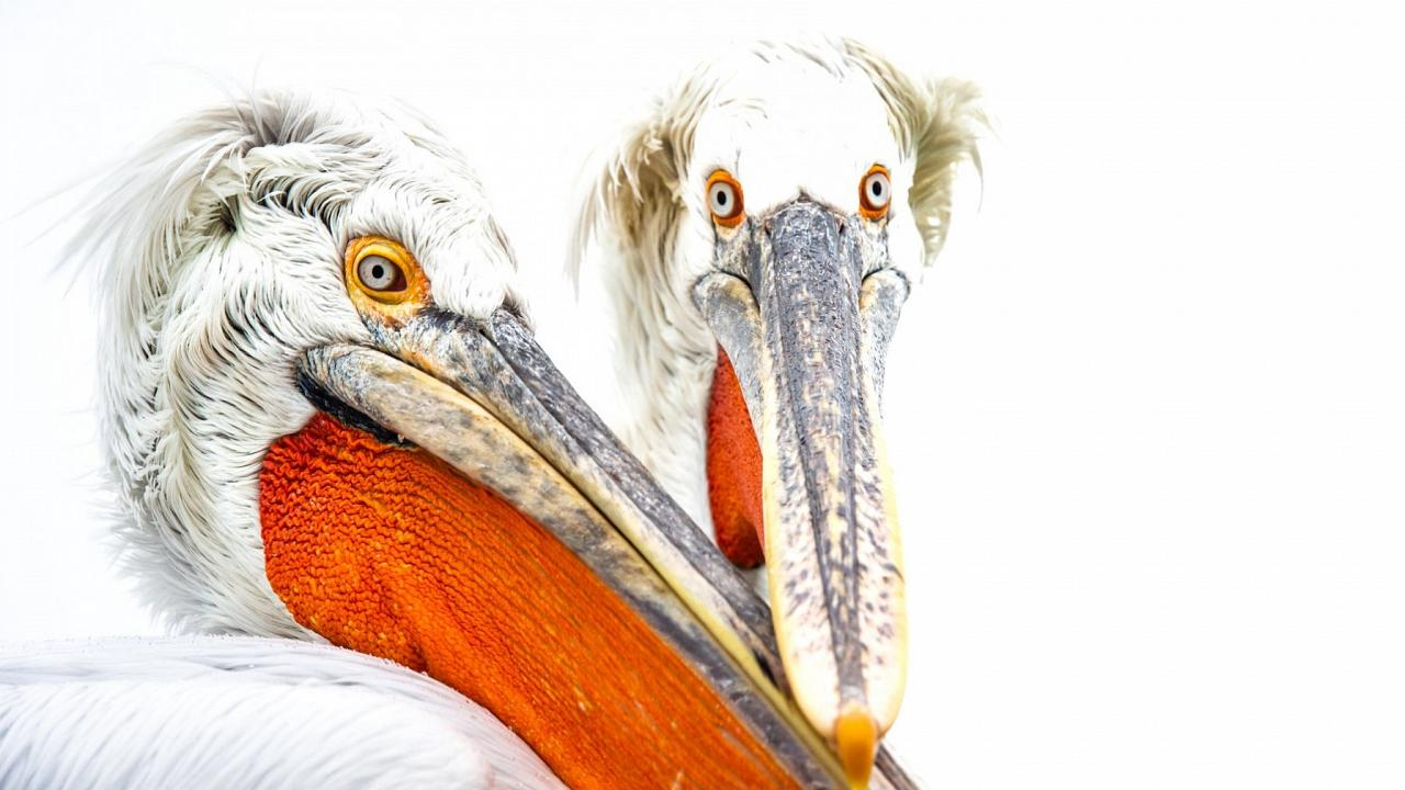 Dalmatian Pelicans, Bulgaria Birding Tour, Bulgaria Nature Tour, Romania Birding Tour, Romania Nature Tour, Bulgaria and Romania Birding Tour, Naturalist Journeys