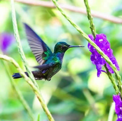Blue-chested Hummingbird, Panama, Tranquilo Bay Birding, Panama Birding Tour, Panama Nature Tour, Naturalist Journeys
