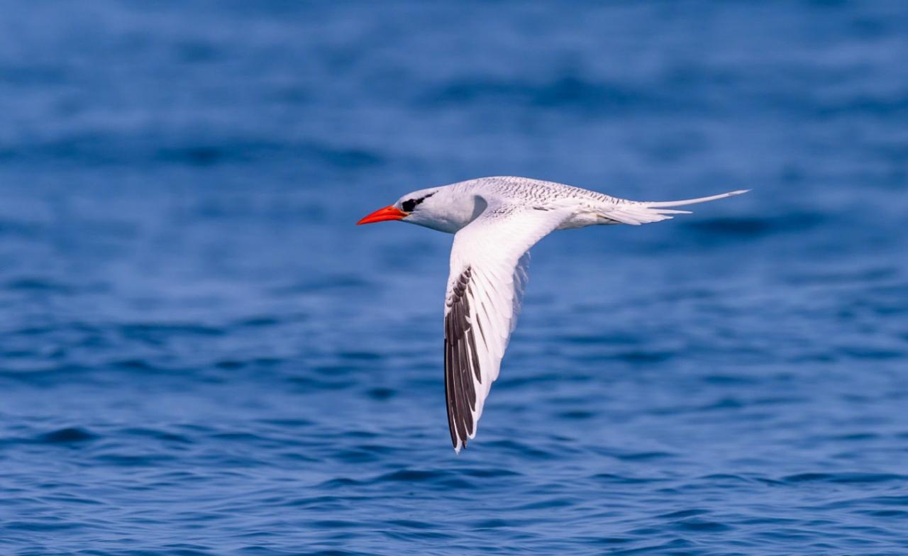 Red-billed Tropicbird, Panama, Tranquilo Bay Birding, Panama Birding Tour, Panama Nature Tour, Naturalist Journeys