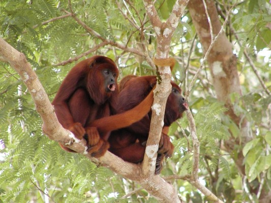Red Howler Monkeys, Amazon River Cruise, Amazon Basin, Peru, Naturalist Journeys