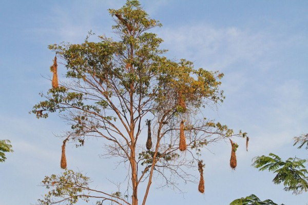 Oropendola Nests, Amazon River Cruise, Amazon Basin, Peru, Naturalist Journeys