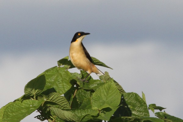 Black-capped Donacobius, Amazon River Cruise, Amazon Basin, Peru, Naturalist Journeys