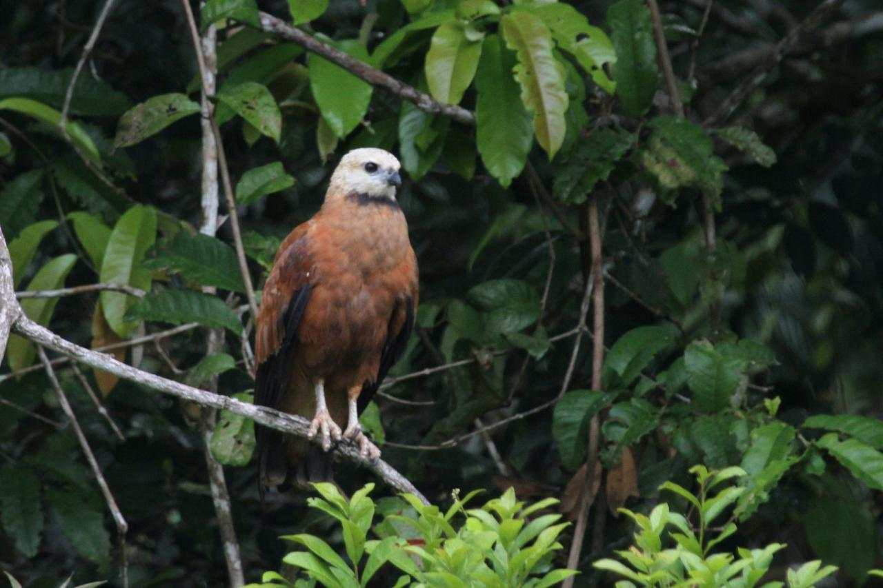 Black-collared HAwk, Amazon River Cruise, Amazon Basin, Peru, Naturalist Journeys