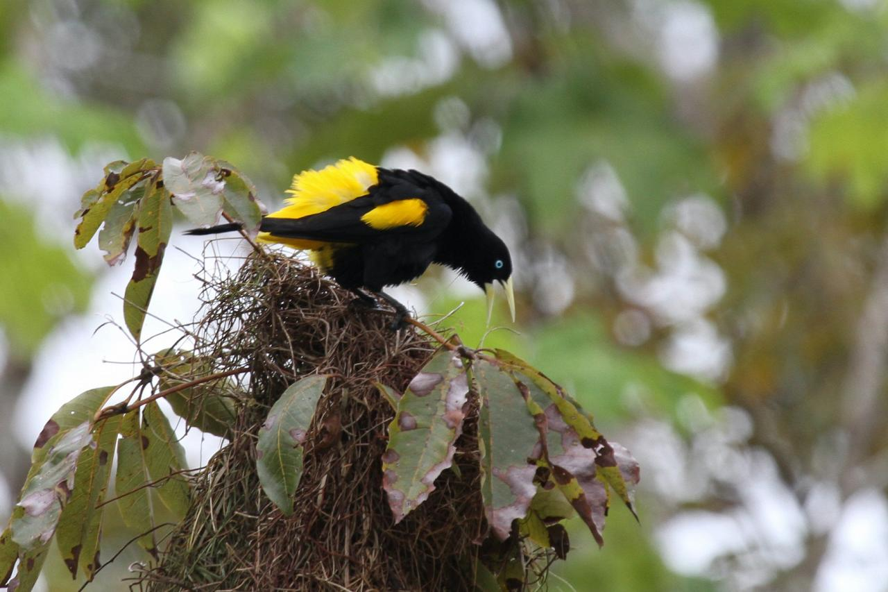 Yellow-rumped Cacique, Amazon River Cruise, Amazon Basin, Peru, Naturalist Journeys