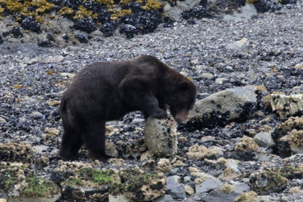 Grizzly Bear,  Alaska, Alaska Cruise, Naturalist Journeys
