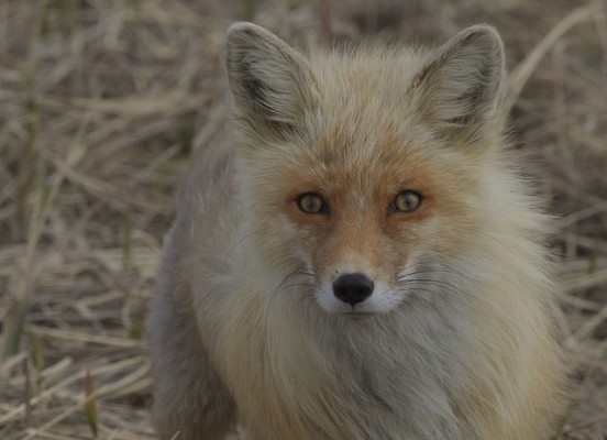 Red Fox, Alaska, Alaska Cruise, Naturalist Journeys