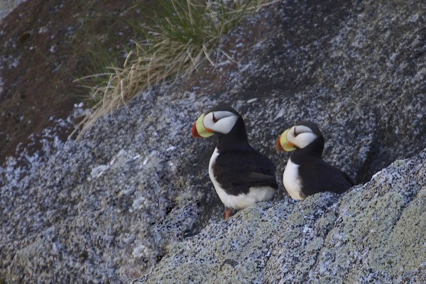 Horned Puffins, Alaska, Alaska Cruise, Naturalist Journeys