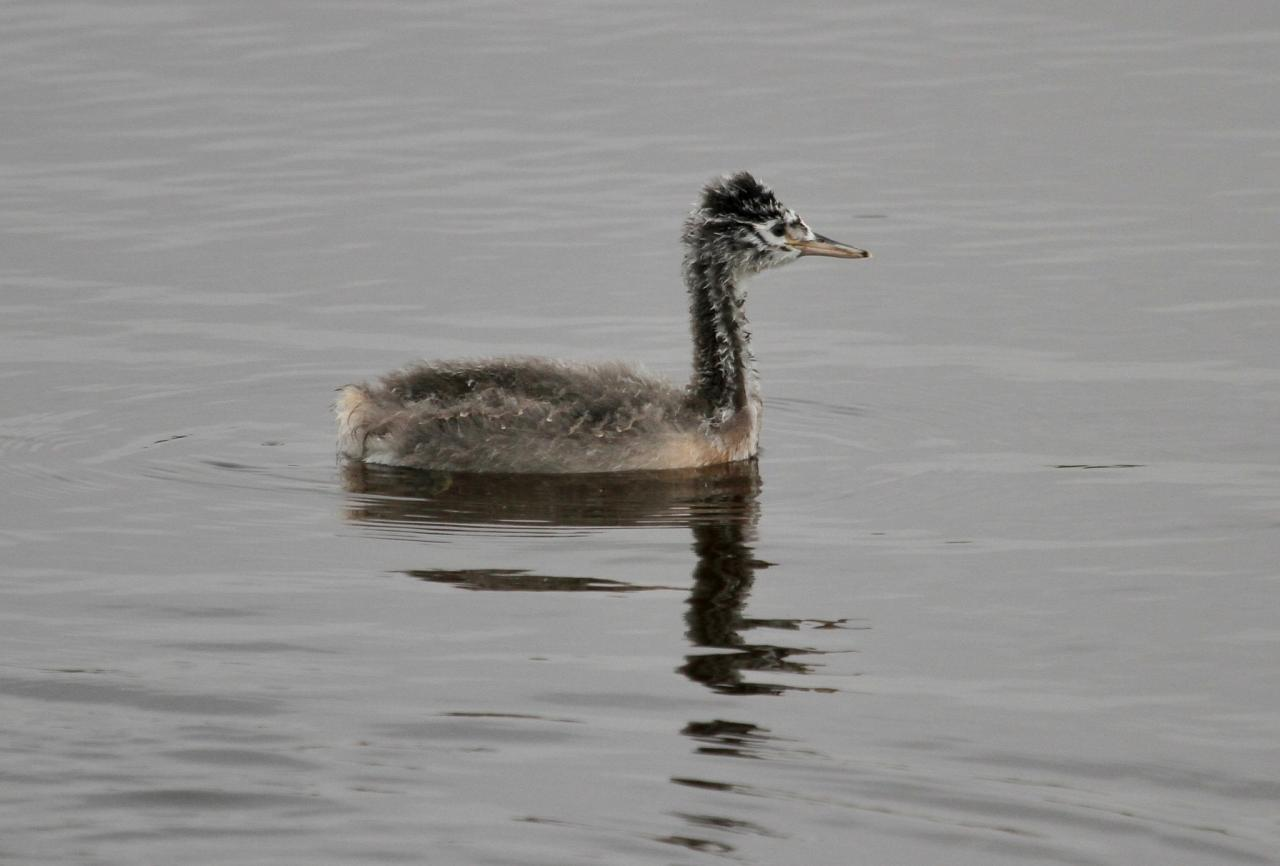 Juvenile Great Grebe, South Texas, South Texas Nature Tour, South Texas Birding Tour, Naturalist Journeys