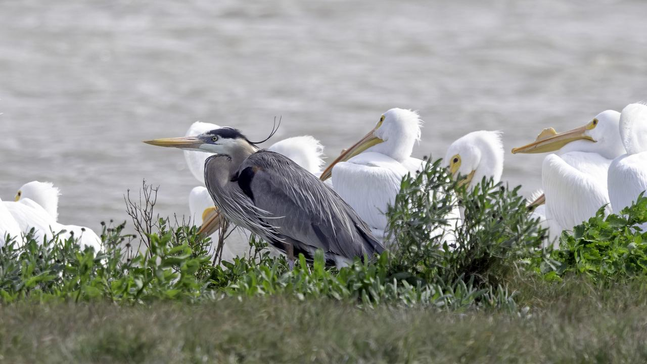 Great Blue Heron, South Texas, South Texas Nature Tour, South Texas Birding Tour, Naturalist Journeys