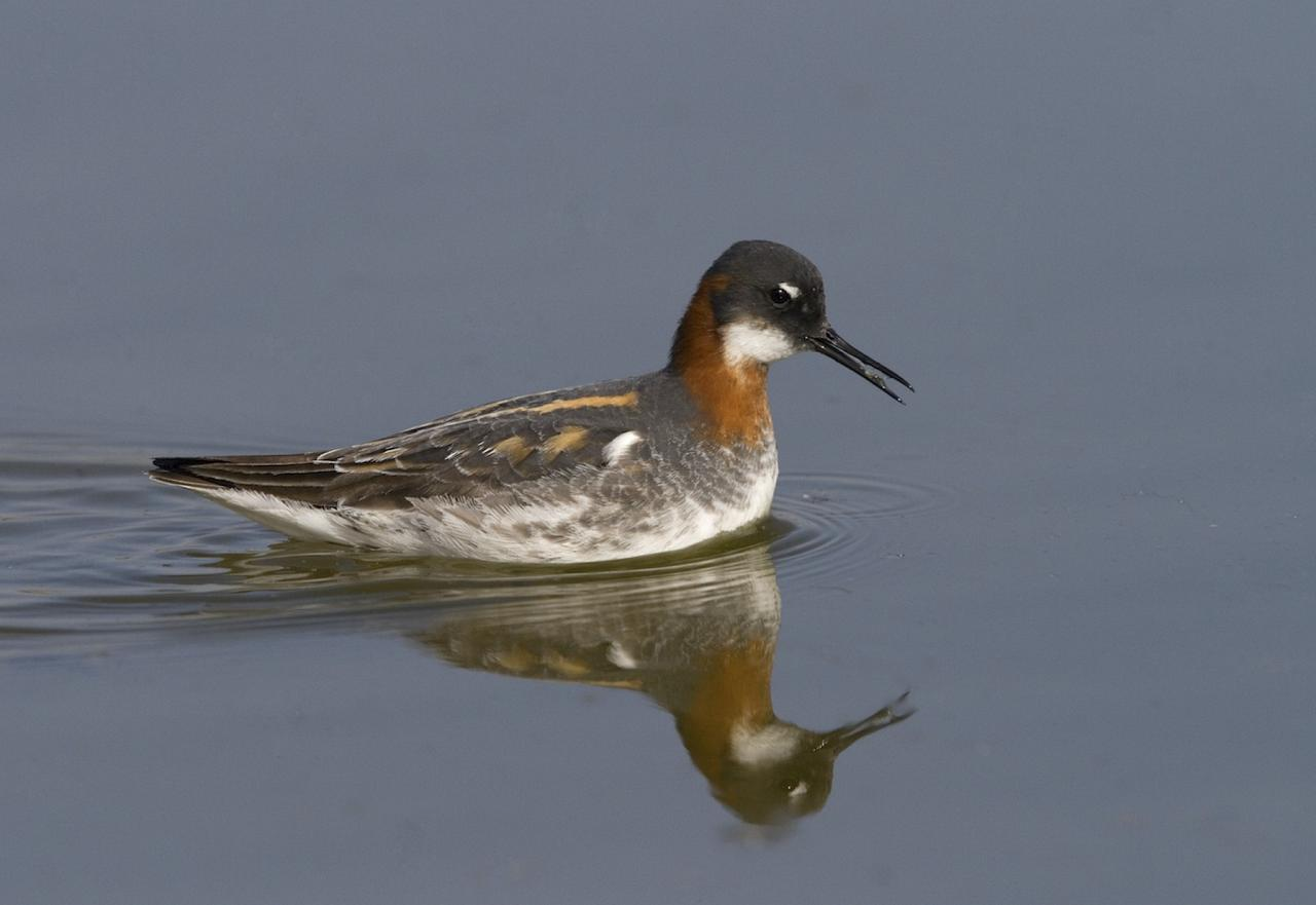 Red-necked Phalarope, Alaska, Alaska Cruise, Alaska Nature Cruise, Naturalist Journeys