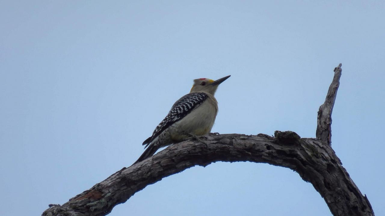 Golden-fronted Woodpecker, South Texas, South Texas Nature Tour, South Texas Birding Tour, Naturalist Journeys