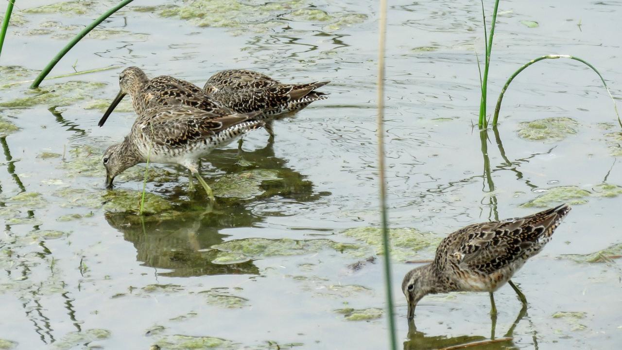 Long-billed Dowitcher, South Texas, South Texas Nature Tour, South Texas Birding Tour, Naturalist Journeys
