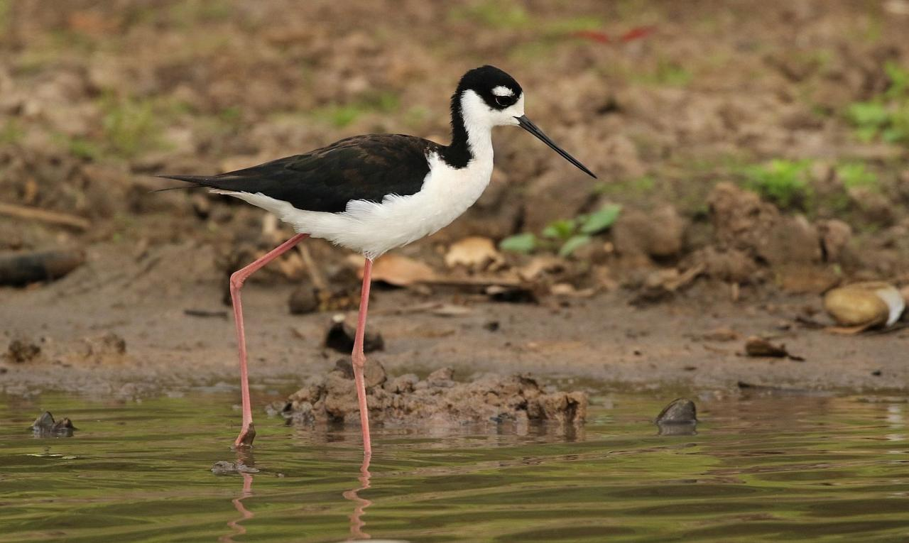 Black-necked Stilt, South Texas, South Texas Nature Tour, South Texas Birding Tour, Naturalist Journeys