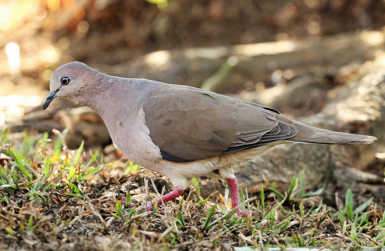 White-tipped Dove, South Texas, South Texas Nature Tour, South Texas Birding Tour, Naturalist Journeys