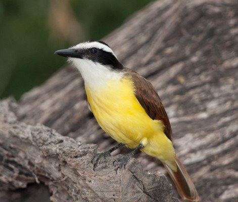 Great Kiskadee, South Texas, South Texas Nature Tour, South Texas Birding Tour, Naturalist Journeys