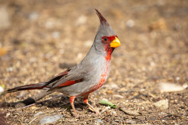 Pyrrhuloxia, Texas, Big Bend, Big Bend National Park, Texas Nature Tour, Texas Birding Tour, Big Bend Nature Tour, Big Bend Birding Tour, Naturalist Journeys