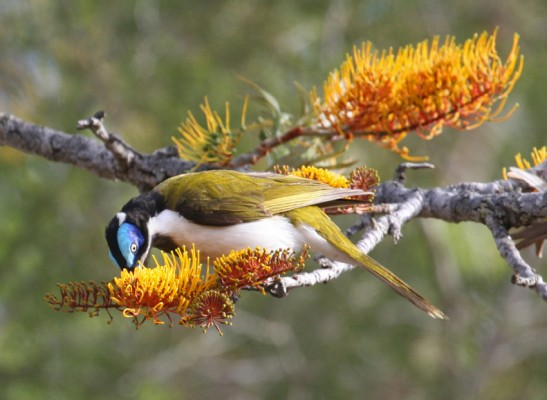 Blue-faced Honeyeater, Western Australia, Australia, Naturalist Journeys, Australia Birding Tour, Australia Wildlife Tour