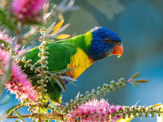 Rainbow Lorikeet, Australia, Australia Nature Tour, Australia Wildlife Tour, Australia Birding Tour, Naturalist Journeys