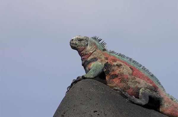 Marine Iguana, Galapagos, Galapagos Islands, Galapagos Cruise, Naturalist Journeys, Galapagos Wildlife Tour