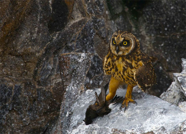 Short-eared Owl, Genovese Island, Galapagos, Galapagos Islands, Galapagos Cruise, Naturalist Journeys, Galapagos Wildlife Tour