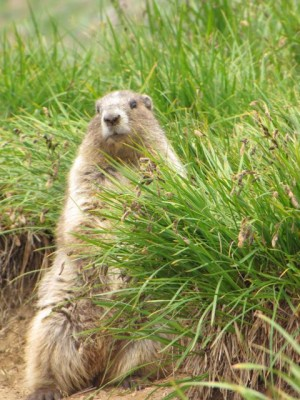Olympic Marmot, Pacific Northwest, Olympic Peninsula, Washington, Naturalist Journeys