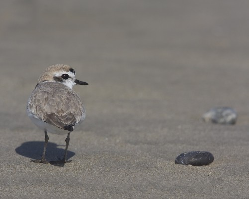 Snowy Plover, Pacific Northwest, Olympic Peninsula, Washington, Naturalist Journeys