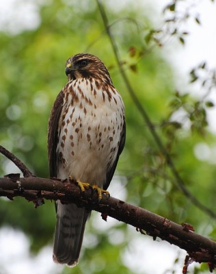 Broad-winged Hawk, Cape May, Naturalist Journeys