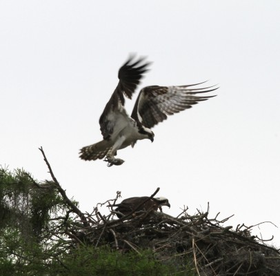 Osprey, Cape May, Naturalist Journeys