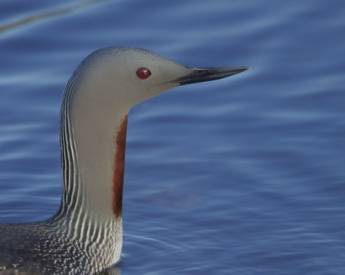 Red-throated Loon, Cape May, Naturalist Journeys