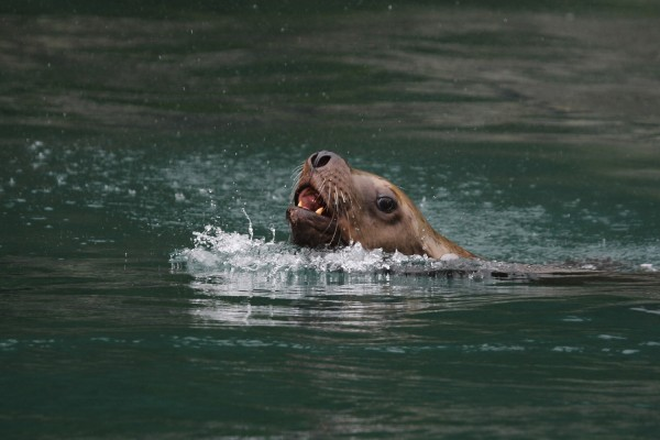 Steller Sea Lion, Alaska, Naturalist Journeys, Southeast Alaska Trip, Southeast Alaska Tour