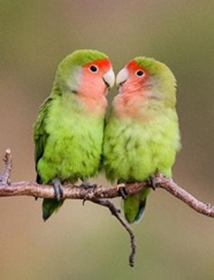 Rosy-faced Lovebird, Namibia, Naturalist Journeys