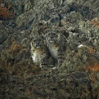 Snow Leopard, India, Himalayas, Naturalist Journeys