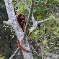 Red Howler Monkey, Colombia Santa Marta, Naturalist Journeys