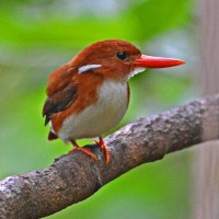 Dwarf Kingfisher, Madagascar, Naturalist Journeys