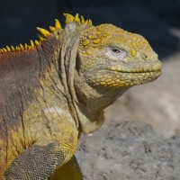 Land Iguana, Galapagos, Galapagos Islands, Naturalist Journeys