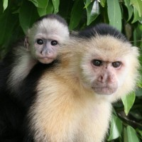 White-fronted Capuchin, Panama, Panama Nature Tour, Panama Birding Tour, Naturalist Journeys