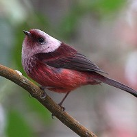 Pink-headed Warbler, Guatemala, Naturalist Journeys