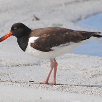 American Oyster Catcher, Texas, Texas Coast, Big Thicket, Texas Birding Tour, Spring Migration Tour, Texas Migration Tour, Texas Nature Tour, Naturalist Journeys