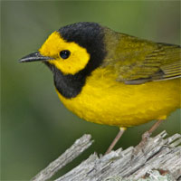 Hooded Warbler, Biggest Week in Birding, Ohio, Naturalist Journeys